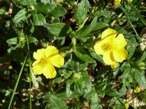 fleurs d'hélianthème1